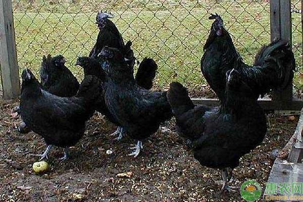 黑色鸡养殖