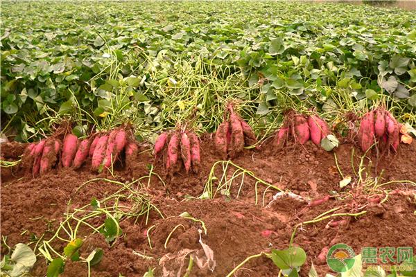 今日红薯主产地收购价