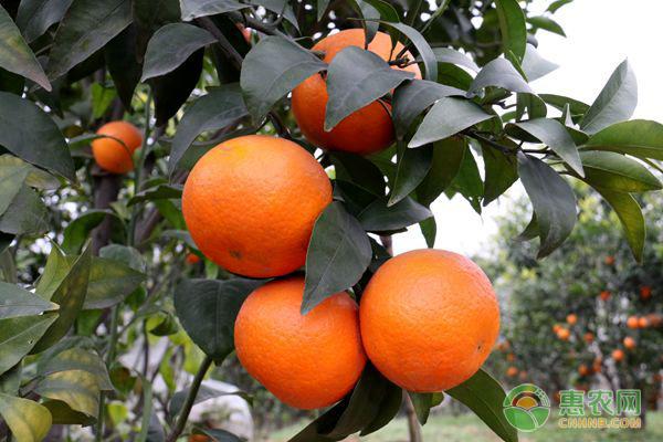 亚博-今日柑桔多少钱一斤?2018年全国最新柑桔主产地价格行情