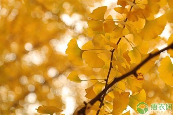根据什么来判断银杏树是公还是母