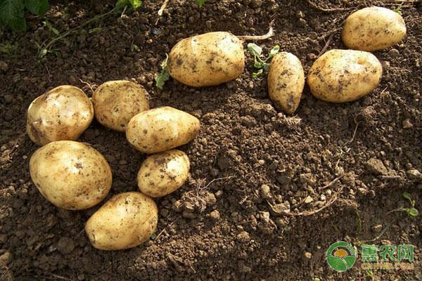 今日土豆多少钱一斤