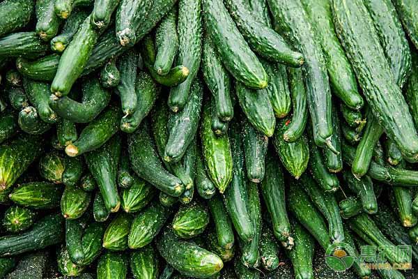 目前黄瓜多少钱一斤?今日国内黄瓜主产区收购价格汇总