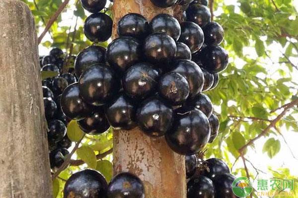 嘉宝果种植前景