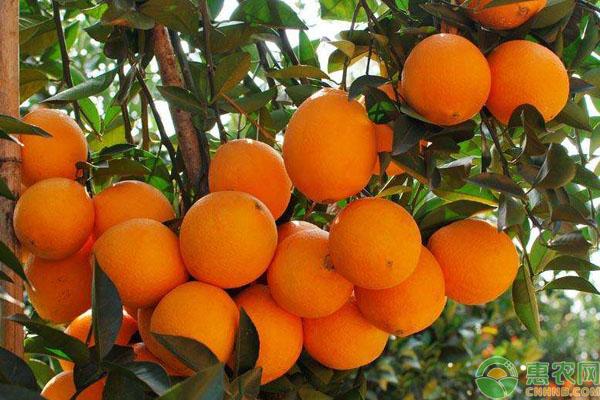脐橙区分方法