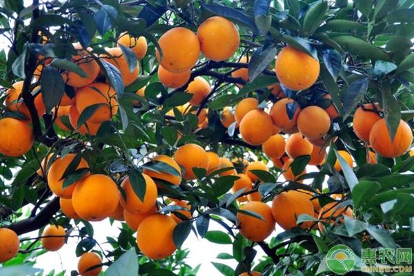 南丰蜜橘频频滞销的原因分析
