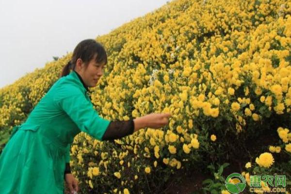 冉秀清种植菊花增收致富