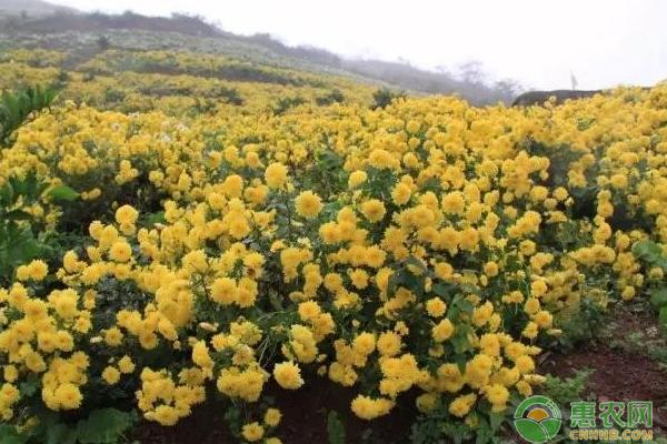 冉秀清种植菊花年产值超千万