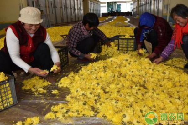冉秀清带动附近乡镇农民种植菊花增收致富