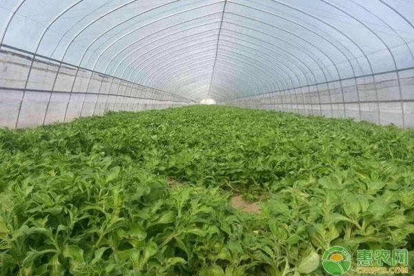 冰菜种植技术