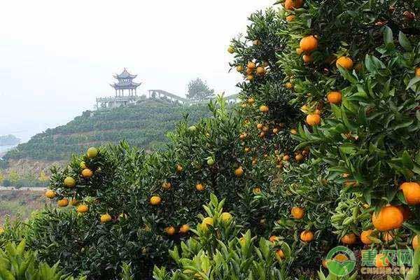 柑橘的种植技术要点