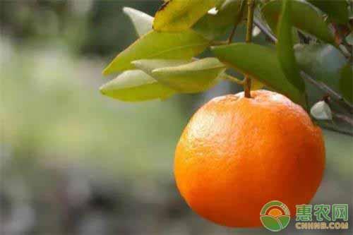 柑橘的种植注意事项