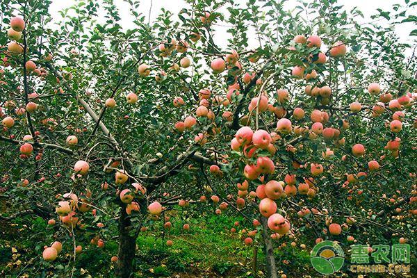 今年苹果的种植前景如何?这三个因素你考虑到了吗?