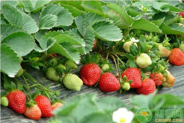 家庭阳台草莓的种植方法和注意事项