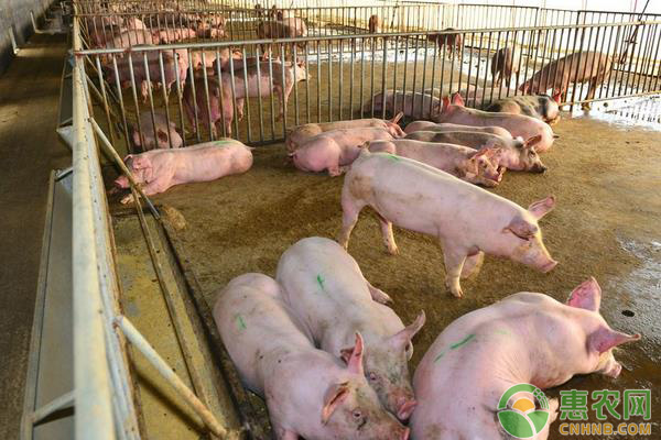 最新生猪价格