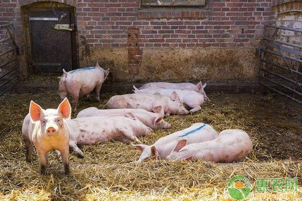 最新生猪价格行情