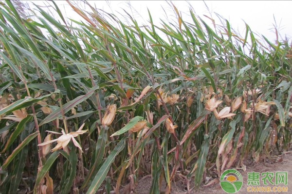 玉米种子购买
