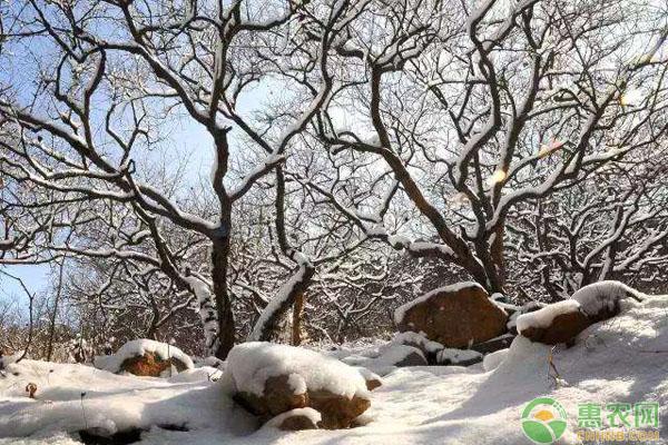石榴树冻害防治措施