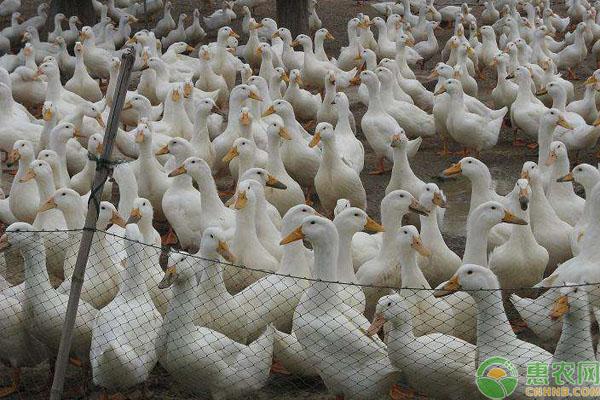 肉鸭饲养管理