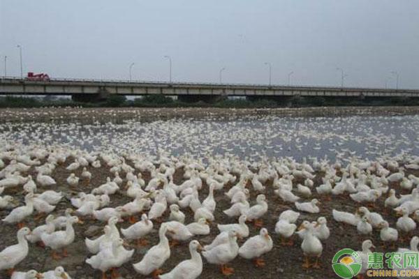 肉鸭饲养管理事项