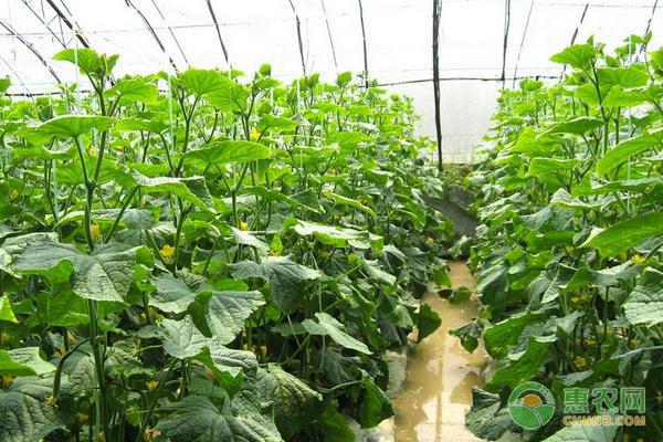 大棚黄瓜缓苗期管理