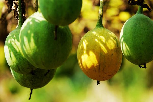 瓜蒌多少钱一斤?有什么功效和作用?