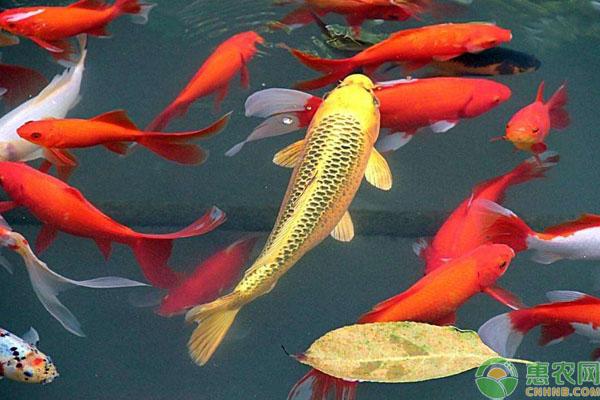 锦鲤品种特性