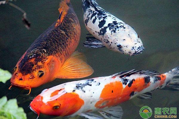 锦鲤品种特性介绍