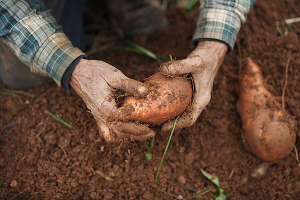 陕西一农户靠种植红薯,年收入达十几万!他是如何做到的?