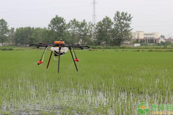 无人机直播水稻