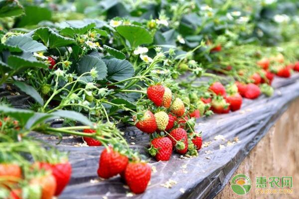 草莓多少钱一斤?市场行情如何?2019草莓价格行情