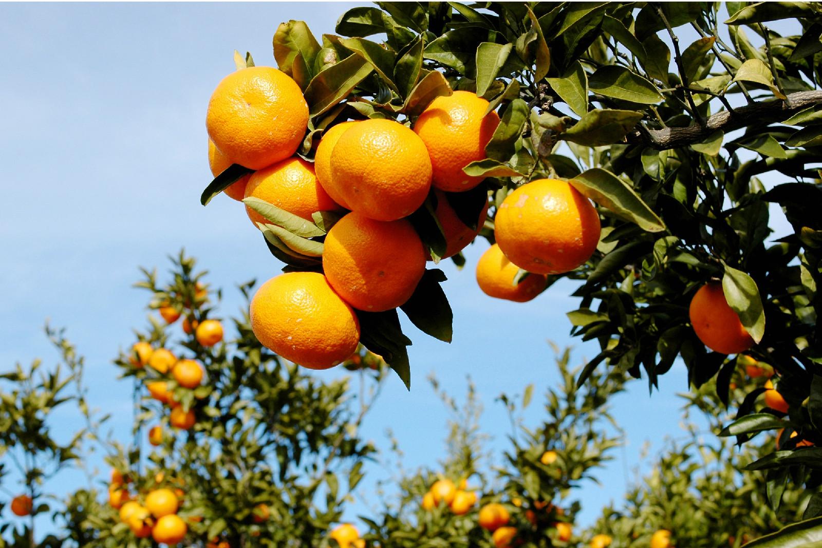 柑桔最新信息:蜜桔价格上涨,卖家抬价行情回暖