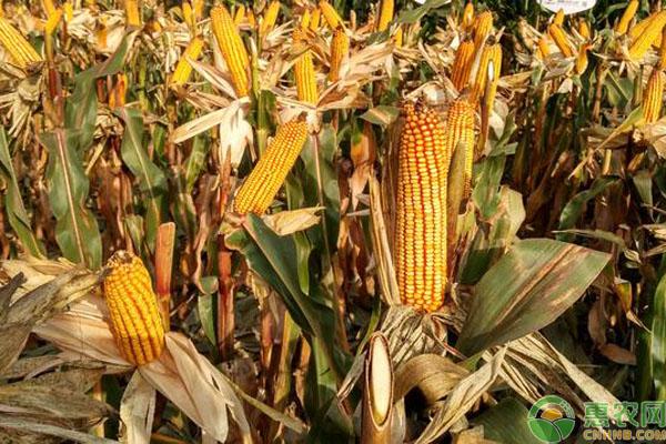 玉米种子购买事项