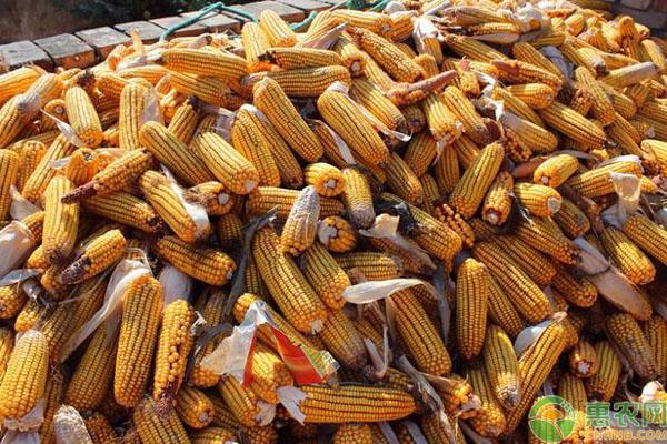 玉米种子要点