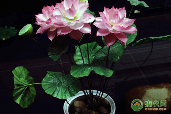 盆栽荷花的栽种步骤及养护方法