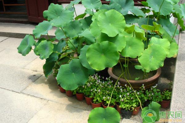 盆栽荷花的养护方法