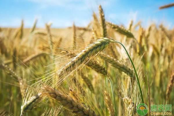 小麦晒种的好处