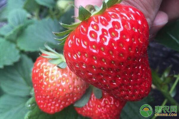 今日草莓价格是涨是跌?2019各地草莓最新价格行情