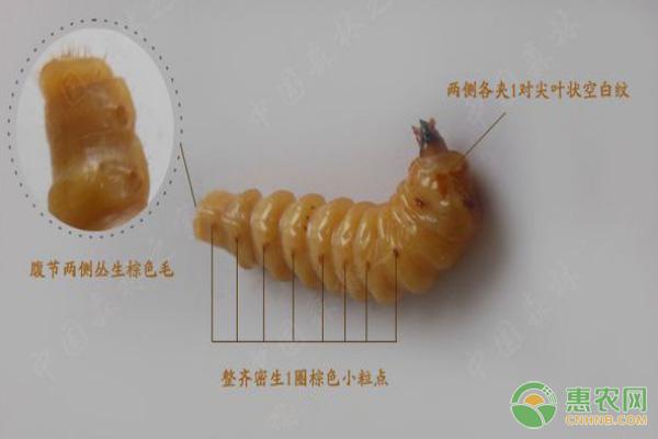 黄牛刺虫的功效和作用