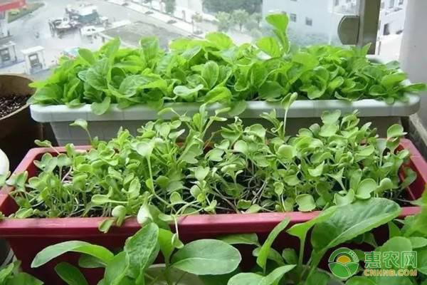 你家阳台种菜了吗?这五种蔬菜长势喜人又好养!