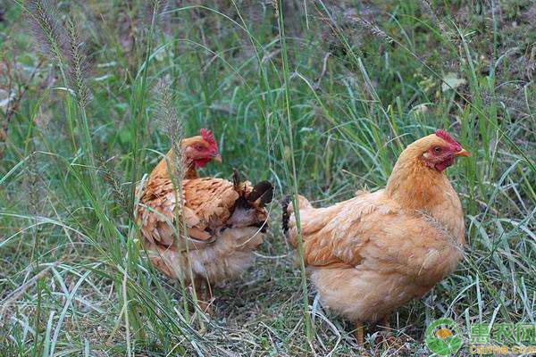 林地养鸡需要注意什么?林地养鸡品种选择及饲养管理