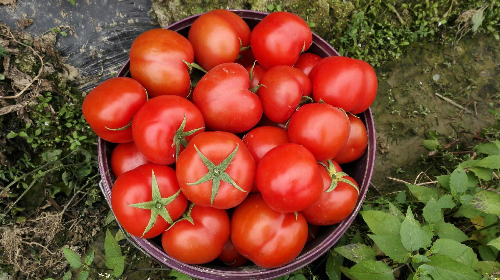 番茄价格暴涨90%,叶类蔬菜行情持续走弱