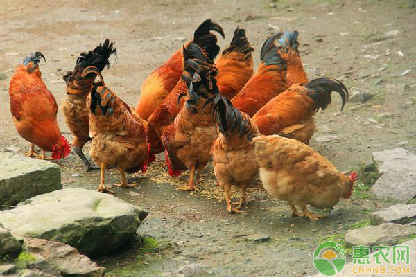 最新淘汰鸡价格行情