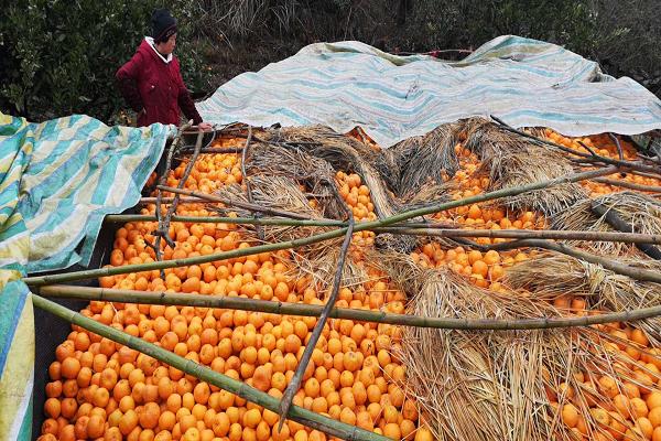 湘西泸溪椪柑遭遇滞销 11万吨果实告急