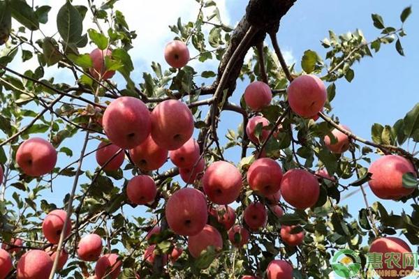 富士苹果品种