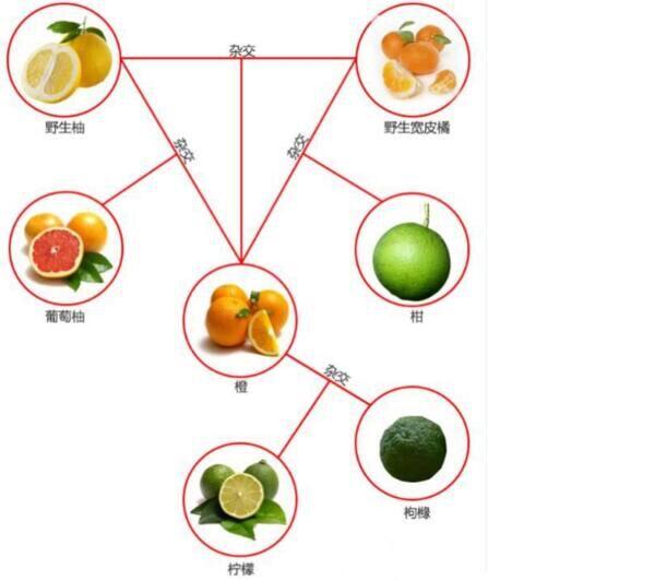 柑、桔、橙、柚间有何区别?一图搞懂柑橘橙柚关系!
