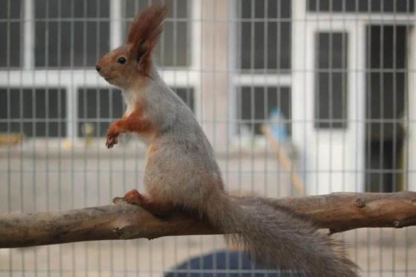 人工养殖野生松鼠作为观赏宠物,备受年轻人喜爱!
