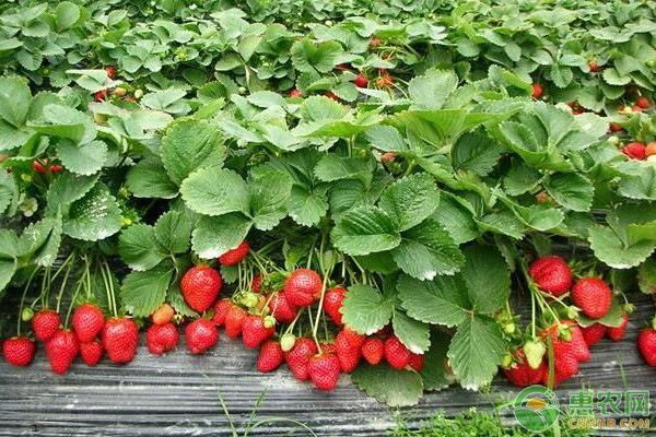 又是一年草莓采摘季,掌握这些诀窍,帮你采到好草莓!