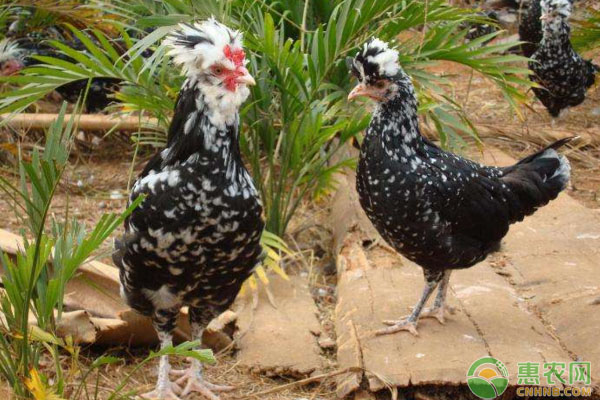 贵妃鸡多少钱一斤?养殖前景如何?贵妃鸡养殖技术