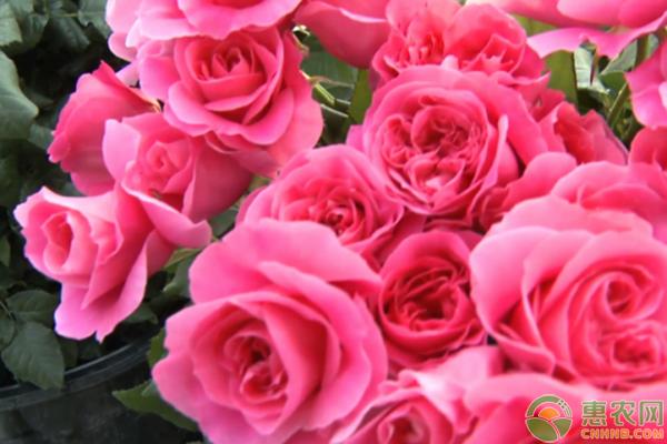月季和玫瑰的区别方法