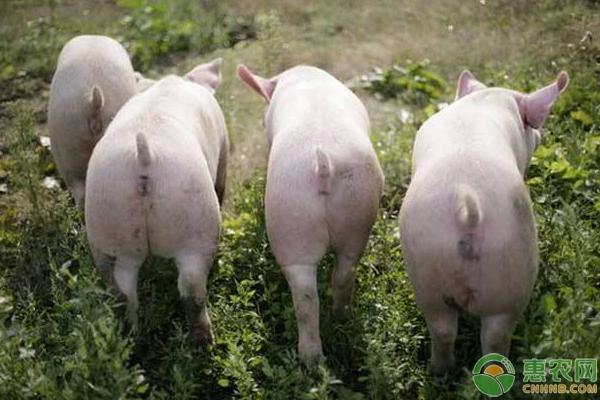 生猪检疫规程